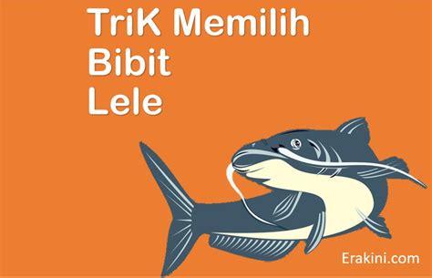 Bibit Ikan Nila Saat Ini 7 ciri bibit ikan lele berkualitas baik dan unggul
