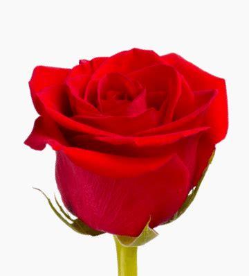 imagenes de rosas por cumpleaños enviar rosas 12 rosas rojas de tallo largo interflora