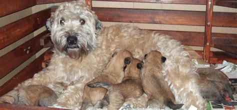 soft coated wheaten terrier dog breed information soft coated wheaten terrier dog breed information and