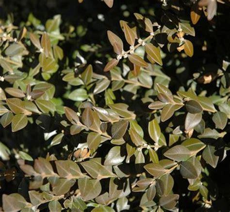 buxus wilson wilson boxwood northern charm plant lust