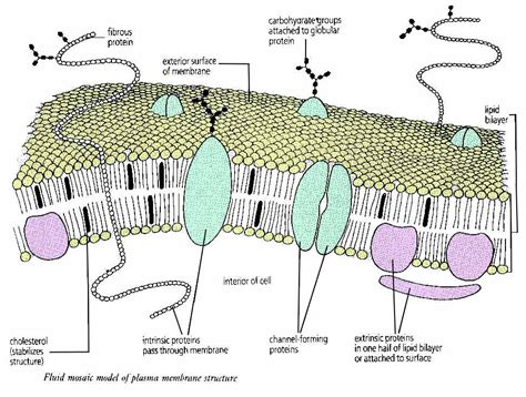 plasma membrane diagram fluid mosac model images frompo 1
