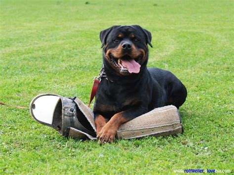 rottweiler guard 5 best guard dogs german shepherd rottweiler doberman pit bull ext