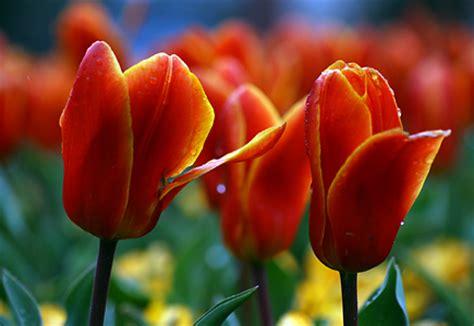 imagenes flores mas lindas todo mundo ver flores hermosas del mundo fotos espectaculares