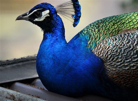 47 Gorgeous Peacock Images 47 gorgeous peacock images that will make you feel winsome