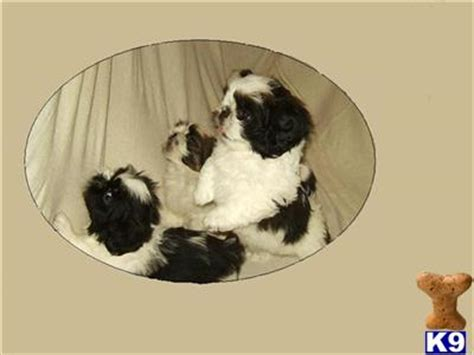 cheap teacup shih tzu puppies for sale shih tzu puppies for sale in cheap