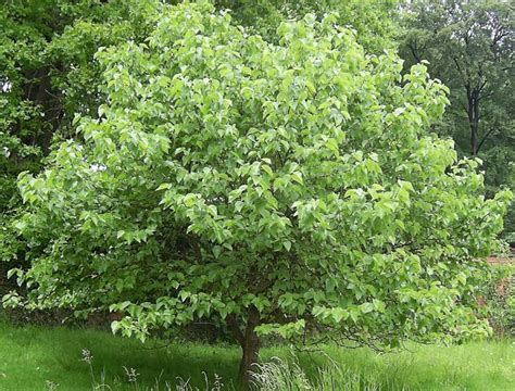 how to kill mulberry trees my gardening network