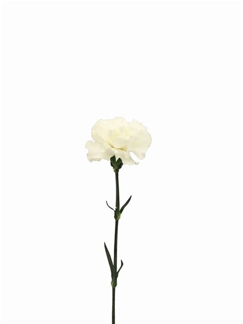 white carnations  bulk metropolitan wholesale nj