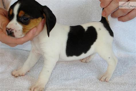 beagle puppies for sale in virginia olde pocket beagle puppies for sale in virginia breeds picture