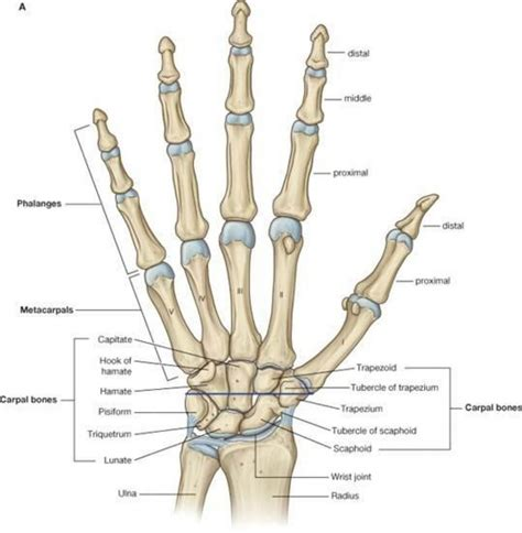 diagram of joints in the joints diagram anatomy organ