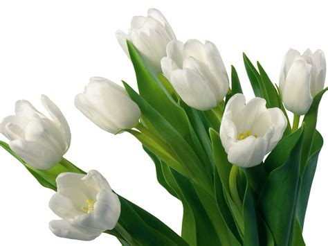 white flower images flowers for flower lovers white tulips flowers