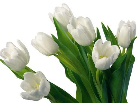 white flower images flowers for flower white tulips flowers