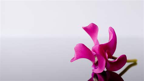 wallpaper daun pink pink flower alone wallpapers hd wallpapers id 5640