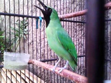 Cucak Ijo Ropel by Burung Pentet Juara Nasional Isian Gacor Kicau