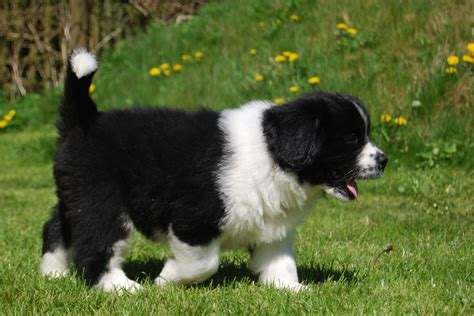 newfie puppies for sale newfoundland puppies for sale edogshow breeds picture