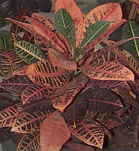 poisonous house plants poisonous house plants croton