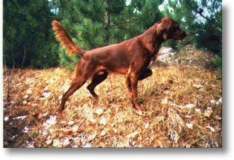 irish setters gun dog magazine irish setter breeders ironfire setters