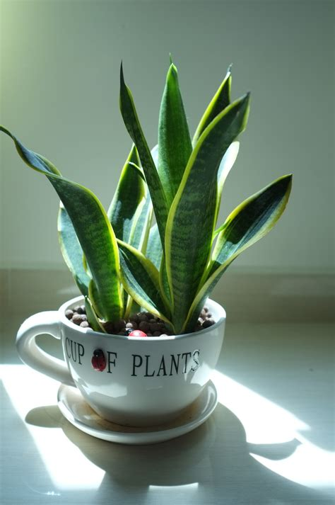 inhouse plants snake plant 7 best potted plants to consider having in your home