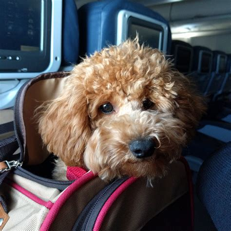 comfort dogs on airplanes international travel with your pet features cdc