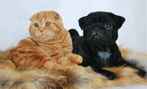 pug and cat pug cat familiars