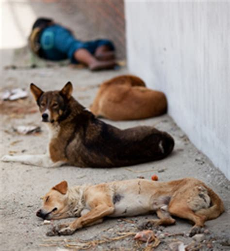 rabies signs in dogs rabies in stray dogs in kathmandu nepal centre