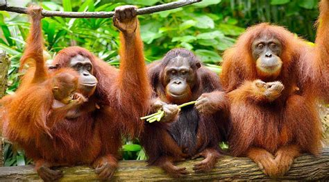 Merah Borneo E borneo facts home of the orangutan and monkeys the