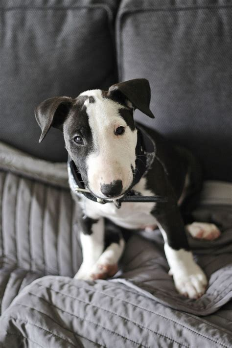 white bull terrier puppy 2000 best images about doggies on pictures of animals beautiful