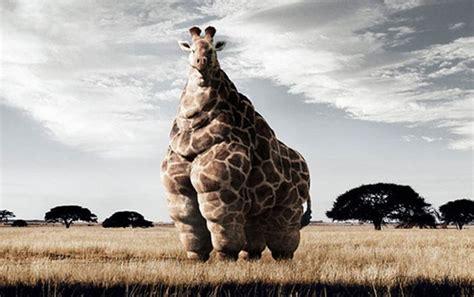 imagenes de jirafas gordas jirafa gorda