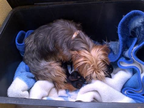 silver yorkies for sale silver puppies for sale west rand puppies for sale