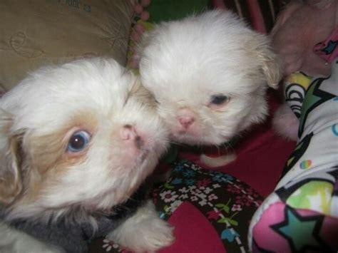 blue eyed shih tzu puppies blue eyed shih tzu puppies through the of animals blue puppys