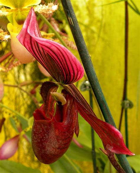 purple slipper orchid purple paphiopedilum slipper orchid photograph by diaz