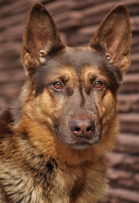 liver colored german shepherd westside german shepherd rescue of los angeles