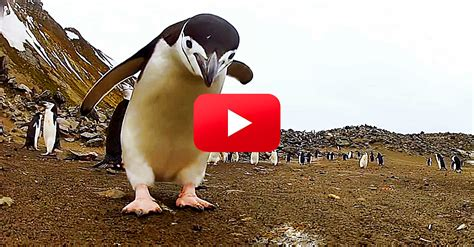 You Haven't Seen Happy Feet Until You've Seen This Real ...