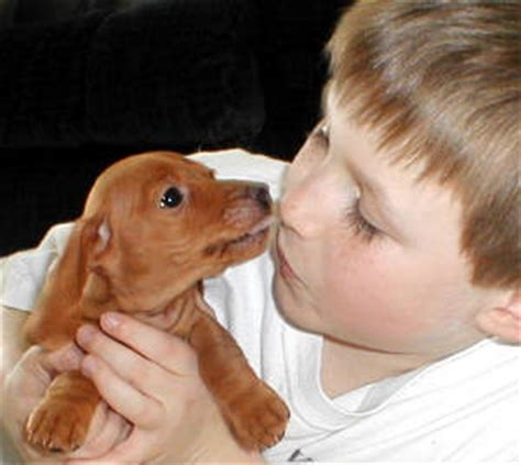 mini dachshund puppies for sale mn mini dachshund puppies for sale