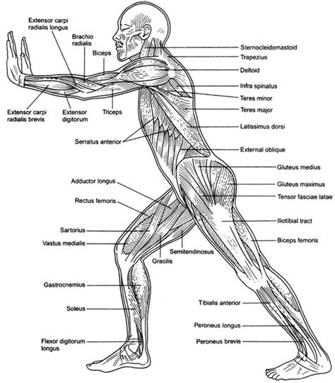 muscular system diagram muscles anterior view see