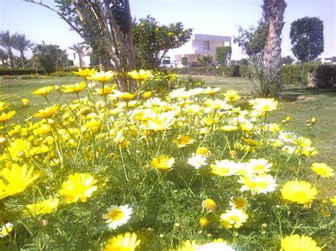 imagenes de flores egipcias flores egipcias san miguel de la ribera