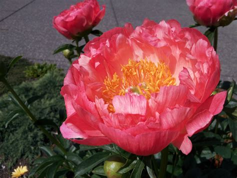 Growing Vegetables In Backyard Coral Sunset Peony Hortophile My New Garden