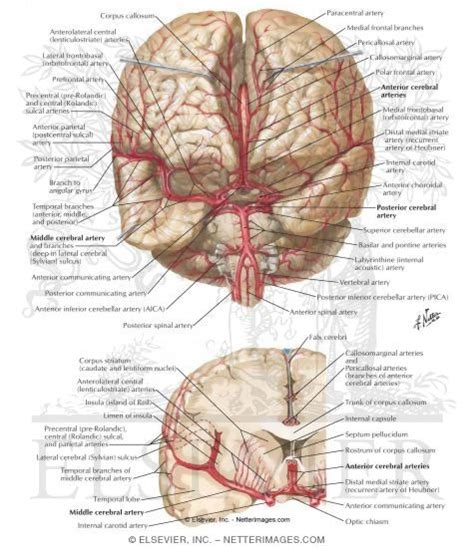Anterior Section by Arteries Of Brain Frontal View And Section Arterial