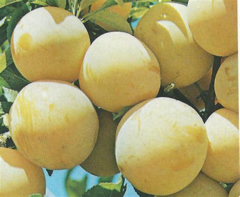 la prune perle de l 233 t 233 est riche en min 233 raux et vitamines
