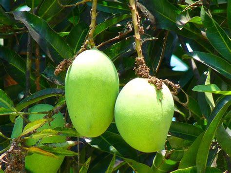 mango tree with fruits free photo mango green mango fruit tree free image