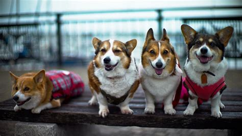 how many corgis does the how much does a corgi cost reference