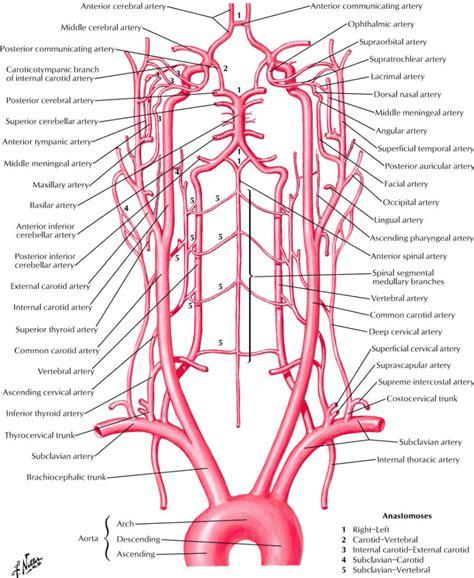 arteries in the neck diagram neck artery anatomy human anatomy diagram