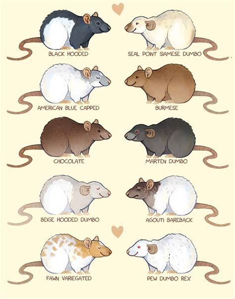 rat colors rat coat types rattie rats animal and
