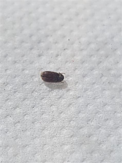 biscuit beetle in bedroom biscuit beetle in bedroom functionalities net