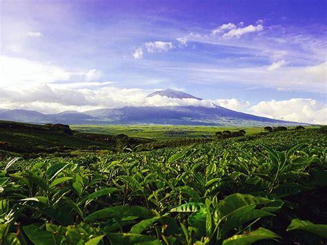 Teh Kayu Aro perkebunan teh kayu aro keindahan kebun teh dengan