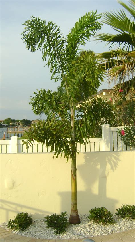 Landscape Design Kissimmee Florida Buy Foxtail Palm Trees For Sale In Orlando Kissimmee