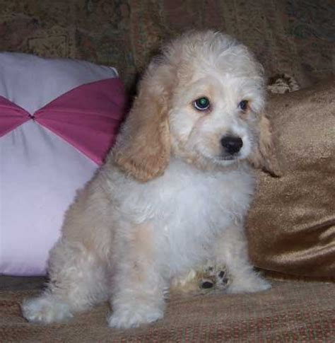 cockapoo puppy pictures cockapoo puppy pictures puppy pictures and information