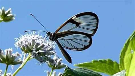 imagenes mariposas de cristal mariposa alas de cristal greta oto en movimiento