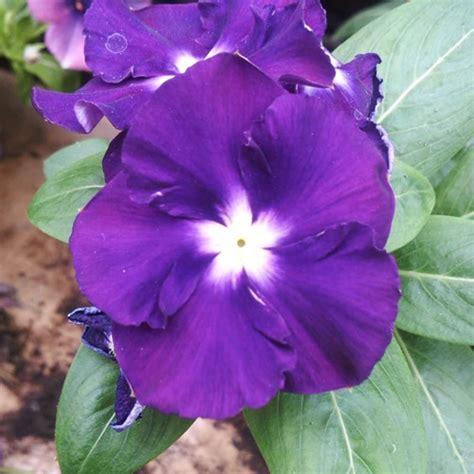 Pupuk Bunga Vinca jual benih vinca ungu sweet purple juntai 15 biji non