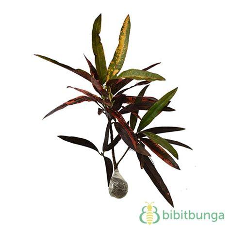 Tanaman Daun Puring Oscar tanaman puring lancur bibitbunga