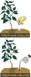 Pupuk Kalsium Buat Cabe budidaya cabe pertiwi benih pertiwi